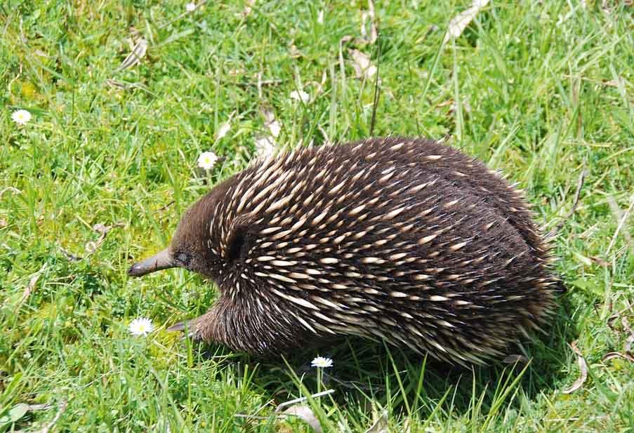 Australian Animals Echidna