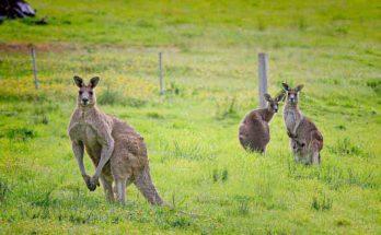 Australian Animals Kangaroo
