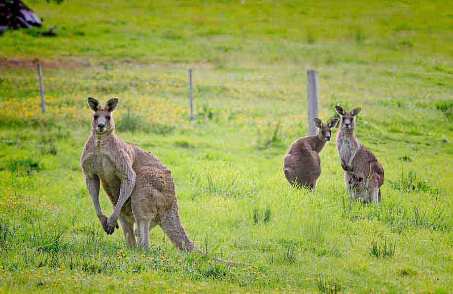 Australian Animals Kangaroo