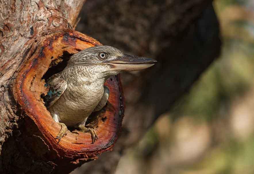 Australian Kookaburra