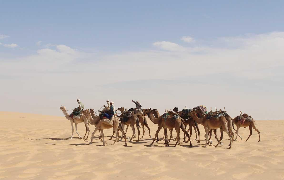 sahara desert camel life