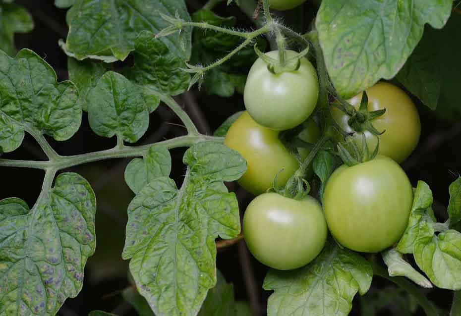 tomato companion