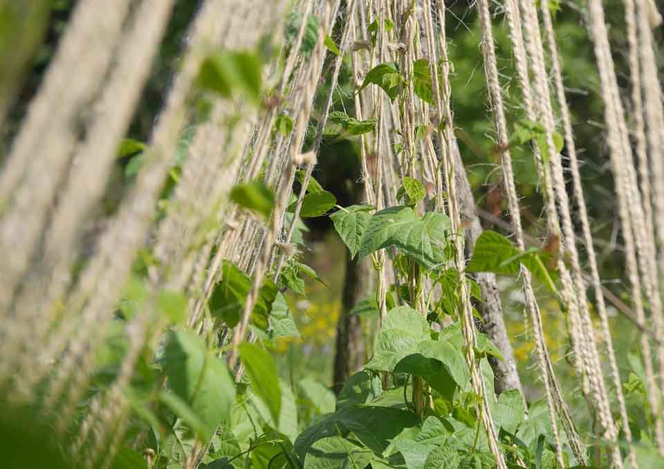 beans and tomatoes companion planting