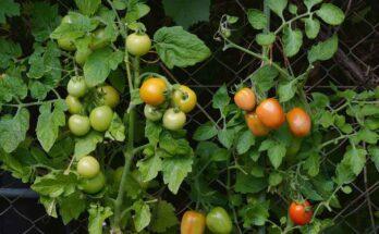 companion gardening tomatoes