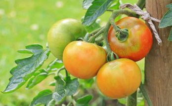 companion herbs for tomatoes