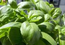 planting basil with tomatoes